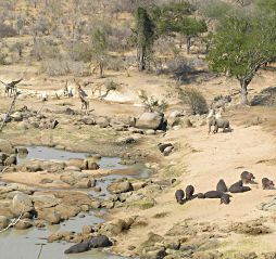 Giraffes, african elephants, hippopotamuses and different kinds of trees and bushes at Ruaha river camp, Tanzania